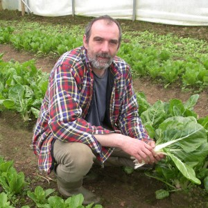Brian in the polytunnel harvesting chard