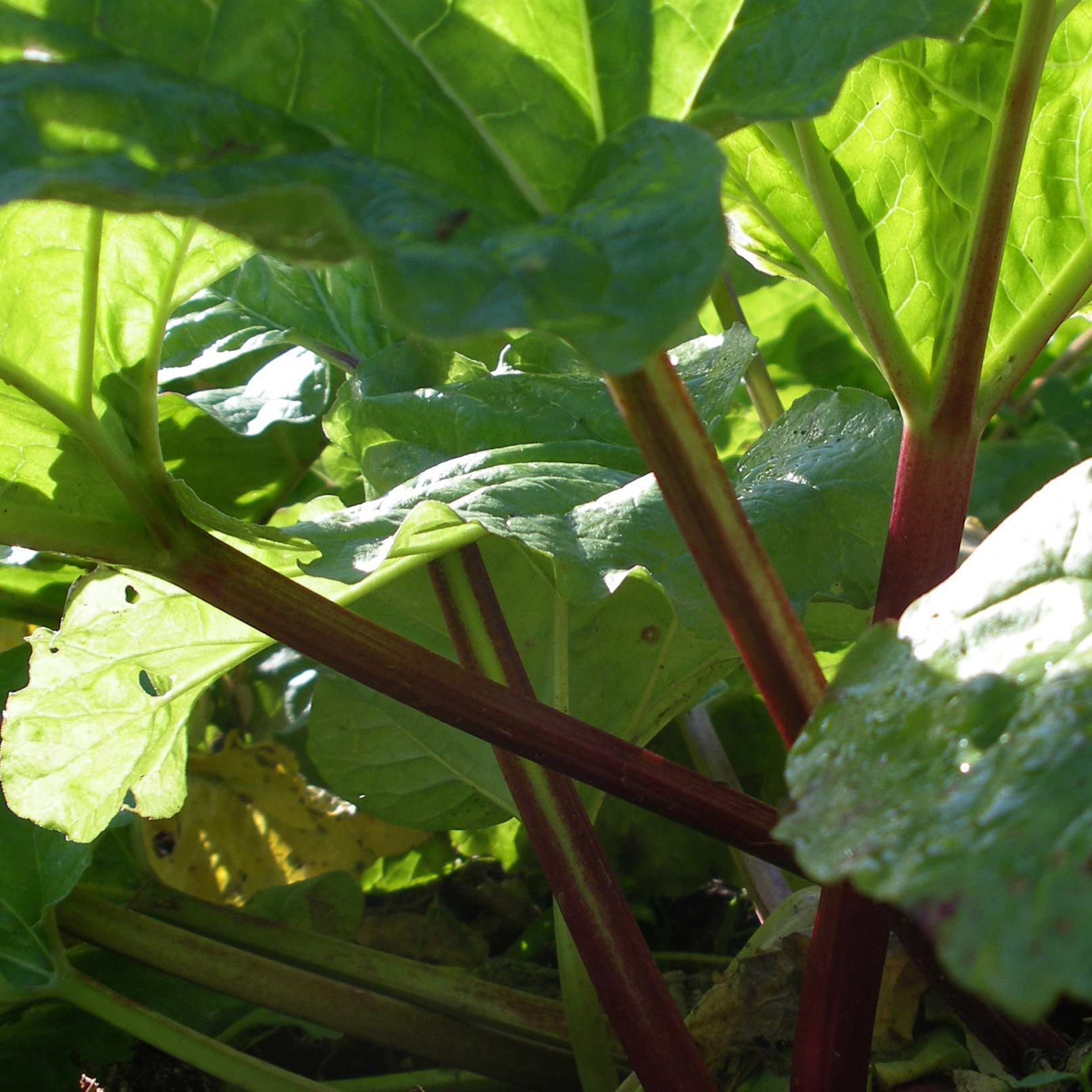 Morning sun on our Timperley Early rhubarb in the market garden at Forest House