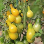 yellow pear tomatoes 550x550px.jpg
